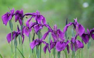 Сад ирисов выращивание ирисов