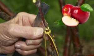 Подготовка черенков яблони к прививке