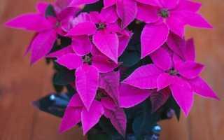 Комнатное растение с зелено красными листьями