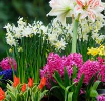 Луковичные многолетники для сада