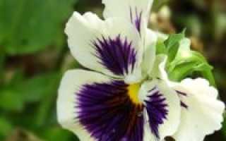 Посадка виолы на рассаду