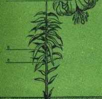 Описание, строение и характеристика лилии