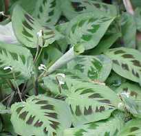 Растение маранта как ухаживать