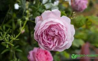 Даже самая роза имеет шипы