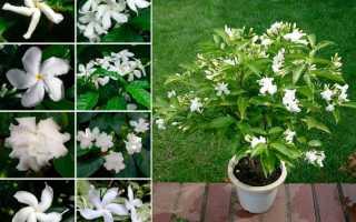 Табермонтана комнатный цветок