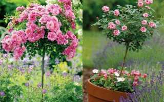 Как сделать хороший штамб для высокой розы