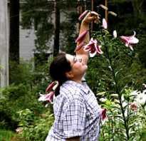 Лилия дерево от гибриды лилий