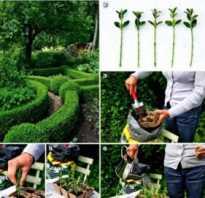 Как размножить боярышник черенками
