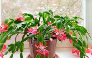 Как ухаживать за цветком декабрист