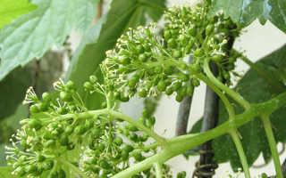 Нормировка винограда гроздями