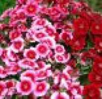 Описание цветка многолетняя гвоздика