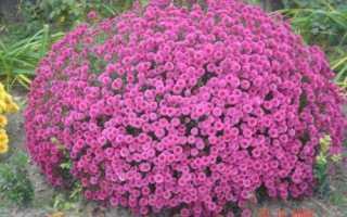 Шаровидная хризантема зимовка