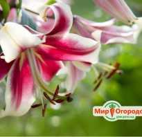 Лилия голден сплендор фото