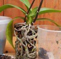 Как пересадить орхидею после цветения