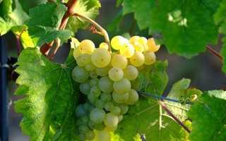 Как правильно укоренить черенки винограда