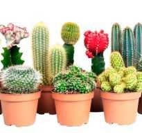 Как ухаживать за маленьким кактусом