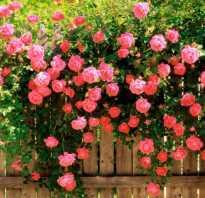 Классификация плетистых роз