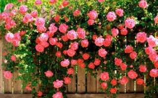 Вьющаяся роза посадка и уход фото