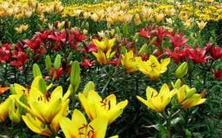 Посадка лилии в саду и уход за цветком