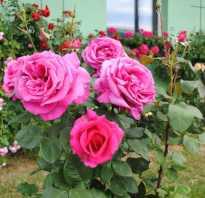 Гребаная розовая роза