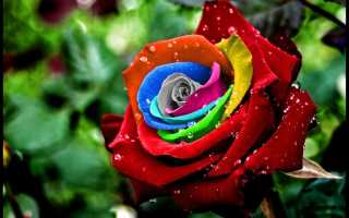 Как сделать радужную розу rainbow rose